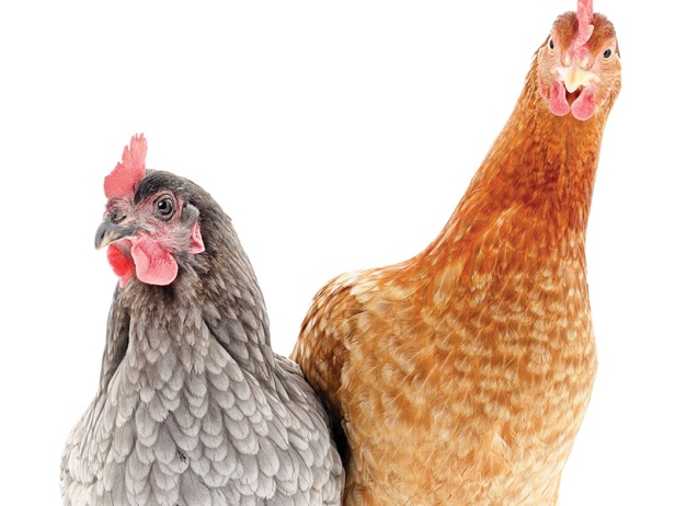 blog-_0003_summer-hens